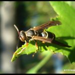A paper wasp called a Golden Paper Wasp, resting on a leaf