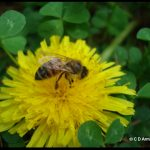 a honey bee visiting a dandelion blossom
