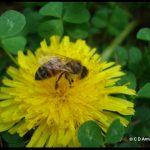 a honey bee visiting a dandelion blossom