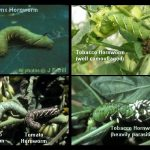 Hornworm examples, including the tomato and tobbaco hornworms