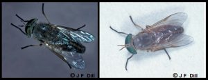 Combination of two photos; each photo is a closeup image of a Horse Fly