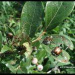 Japanese Beetles on highbush blueberry