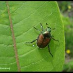 a Japanese Beetle on a milkweed leaf