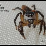 A species of Jumping Spider