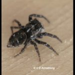 Photo of a species of Jumping Spider