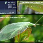 a Green Lacewing atop a cranberry upright - click to see some images of their eggs as well