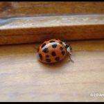 a Multicolored Asian Lady Beetle (Ladybug) on a windowsill