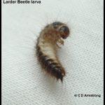 a Larder Beetle Larva