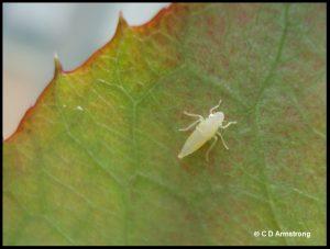a representative leafhopper nymph