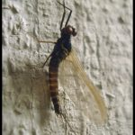 Photo of a mayfly adult on the side of a house