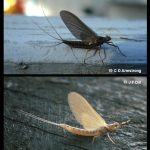 Mayfly - click to see some additional specimens