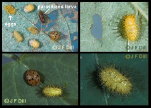 Mexican Bean Beetle - larvae and adults