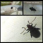 Red-headed Flea Beetle - click for two additional views