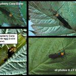 Raspberry Cane Borer - click for additional views