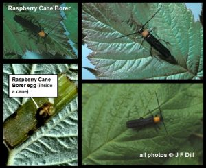 Raspberry Cane Borer - click for additional views