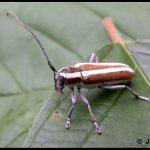 Round-Headed Apple Tree Borer - adult beetle stage