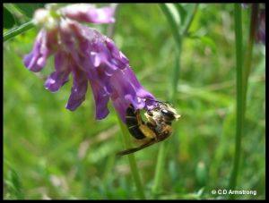 Example of a solitary bee, visiting flowers of Purple Vetch / Cow Pea