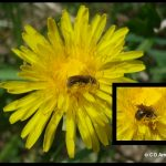 Examples of a sweat bee, visiting a dandelion flower