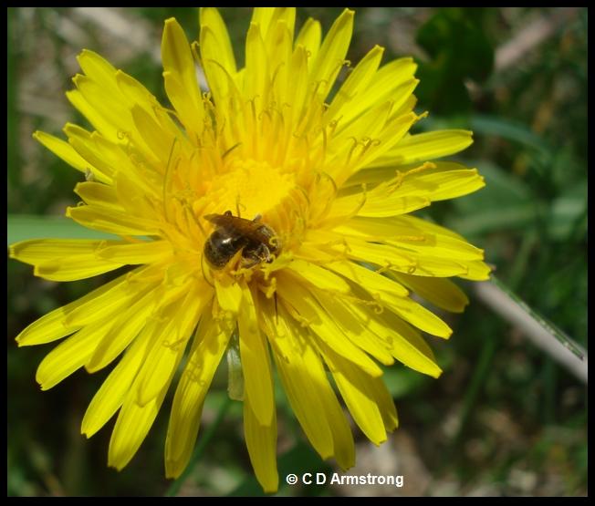 photo of a sweat bee; family Halictidae