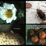 Tarnished Plant Bug - Strawberry and Apple pest