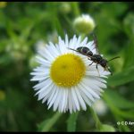 another example of a Vespid wasp, on a Daisy Fleabane flower head