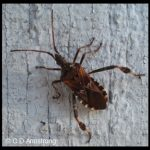 a Western Conifer Seed Bug