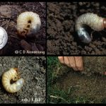 A variety of images of what are collectively referred to as White Grubs