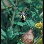 a Black and Yellow Argiope - also called a Black and Yellow Garden Spider or just a Yellow Garden Spider