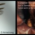 side-by-side photos of a Yellowjacket and a European Hornet, for comparative purposes