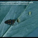 Photo of a Ladybug Larva with Green Peach Aphids