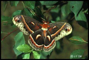 a Cecropia Moth