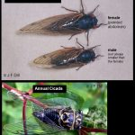 Pair of photos showing different kinds of cicadas