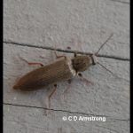 Photo of a Click Beetle