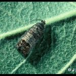 Photo of a codling moth