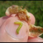 a Cranberry Fruitworm larva on a person's thumb