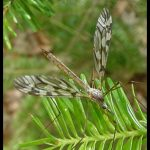 Photo of a crane fly on a balsam fir branch