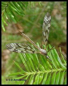 Photo of a crane fly on a balsam fir branch