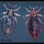 closeup view of a pair of head lice
