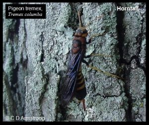 a Horntail (also called a Wood Wasp)