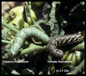 Photo comparing a Tobacco hornworm with a Tomato hornworm