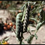 Photo of a pair of hornworms (tobacco hornworm on the left, and a tomato hornworm on the right)