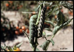 Photo of a pair of hornworms (one is a tomato hornworm and the other is a tobacco hornworm)