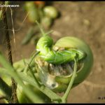 Photo of a Tobacco Hornworm on a tomato plant