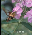 a Hummingbird Clearwing Moth