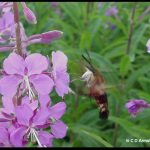 Hummingbird Clearwing Moth feeding from some fireweed flowers