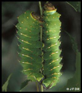 a pair of Luna Moth caterpillars