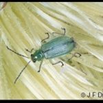 Photo of a Northern Corn Rootworm Beetle