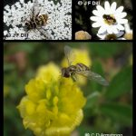 Composite photo showing three different images of syrphid flies (one fly per image)