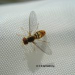 A species of Syrphid fly known as Toxomerus marginatus