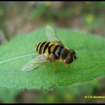 photo of an example of a Syrphid fly that mimics bee/wasp-like patterning